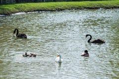 Les canards et les cygnes nagent dans le zoo& x27 ; étang de s thailand Photo stock