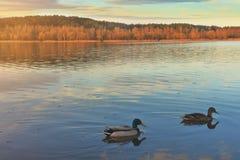 Les canards et les canards nagent sur le lac le soir en nature photo stock