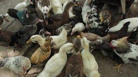 Les canards et les poulets se serrent subit sur la nourriture banque de vidéos