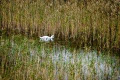 Les canards méfiants joue dans l'eau Photo libre de droits