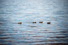 Les canards méfiants joue dans l'eau Images libres de droits