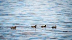 Les canards méfiants joue dans l'eau Photos stock