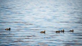 Les canards méfiants joue dans l'eau Image stock