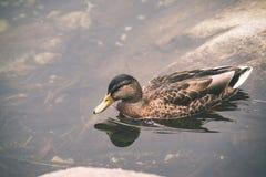 les canards méfiants joue dans l'eau - effet de film de vintage Images libres de droits