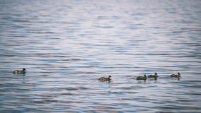 les canards méfiants joue dans l'eau - effet de film de vintage Images stock