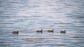 les canards méfiants joue dans l'eau - effet de film de vintage Photos libres de droits
