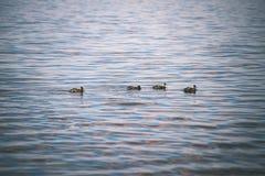 les canards méfiants joue dans l'eau - effet de film de vintage Photo libre de droits