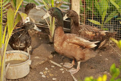 Les canards mangent de la nourriture dans le jardin Photo stock