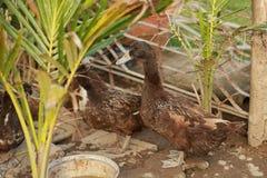 Les canards mangent de la nourriture dans le jardin Photo libre de droits