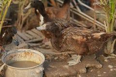 Les canards mangent de la nourriture dans le jardin Images stock