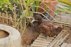 Les canards mangent de la nourriture dans le jardin Photos libres de droits