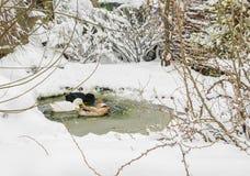 Les canards nageant sur un petit étang avec l'hiver neigent Images libres de droits