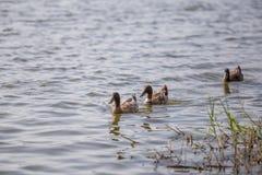 Les canards nagent dans l'étang au parc Photographie stock
