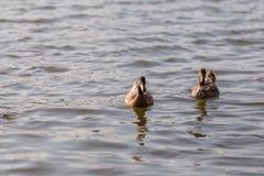 Les canards nagent dans l'étang au parc Photos stock