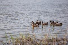 Les canards nagent dans l'étang au parc Image libre de droits