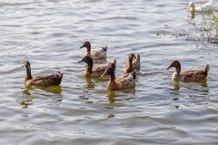 Les canards nagent dans l'étang au parc Images stock