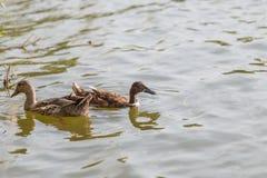 Les canards nagent dans l'étang au parc Images libres de droits