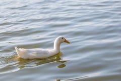 Les canards nagent dans l'étang au parc Photo stock