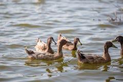 Les canards nagent dans l'étang au parc Photos libres de droits