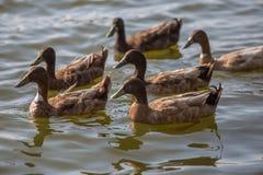 Les canards nagent dans l'étang au parc Photographie stock libre de droits
