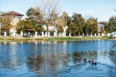 Les canards nagent en rivière qui traverse la ville photos libres de droits