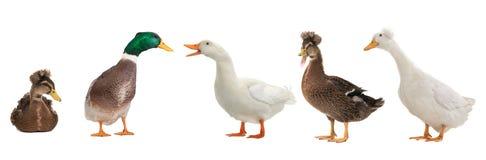 les canards ont isolé photo libre de droits