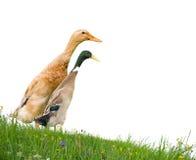 les canards ont isolé Photos libres de droits