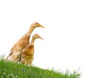 les canards ont isolé Image libre de droits