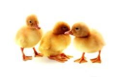 les canards ont isolé Photos stock