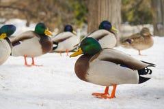 Les canards ont sorti pour chauffer le corps après la chute de neige importante cette nuit images libres de droits