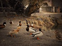 Les canards par un canard s'accumulent sur une pelouse communale Photos stock