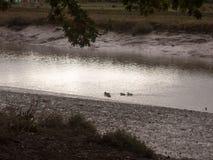 Les canards pataugeant par l'eau peu profonde coulent la nuit de littoral fal Image stock