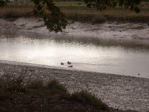Les canards pataugeant par l'eau peu profonde coulent la nuit de littoral fal Images libres de droits