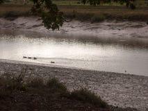 Les canards pataugeant par l'eau peu profonde coulent la nuit de littoral fal Photo libre de droits