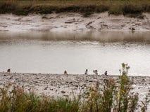 Les canards pataugeant par l'eau peu profonde coulent la nuit de littoral fal Image libre de droits