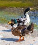Les canards s'approchent de l'eau Images stock