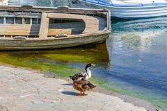 Les canards s'approchent de l'eau Image stock