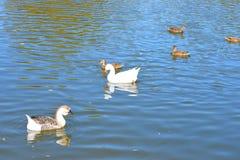 Les canards sauvages et les oies courageux glissent avec élégance les eaux Photo libre de droits
