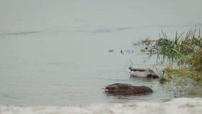 Les canards sauvages gris et les canards verts nagent et plongent à la recherche de la nourriture dans le lac près du rivage en h banque de vidéos