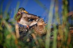 Les canards sauvages se tient sur la berge photos stock