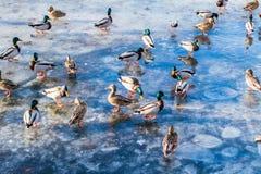 Les canards sauvages sur le lac glacent au printemps en parc de ville Image stock