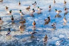 Les canards sauvages sur le lac glacent au printemps en parc de ville Images libres de droits