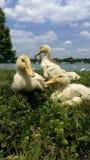 Les canards se ferment  Image libre de droits