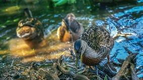 Les canards se refroidissent dans la chaleur d'été Image libre de droits