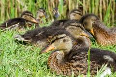 Les canards se reposent au lac au soleil, Danemark image stock