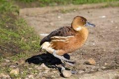 Les canards siffleurs fauves, Dendrocygna bicolore, est un petit canard image libre de droits