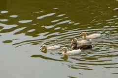 Les canards sont natation et vagues d'eau avec la lumière du soleil d'après-midi image libre de droits