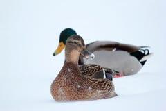 Les canards sont sur le plan rapproché moulu Image libre de droits