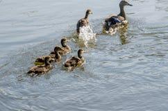 Les canards suivent la maman Image stock