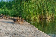 Les canards sur l'étang photographie stock